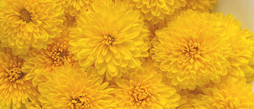 食用菊の薬膳的効能と使い方